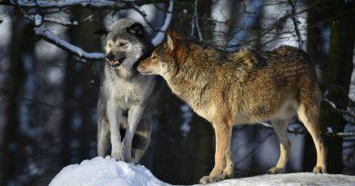 Вот тебе, бабушка, и Волчьи дни!
